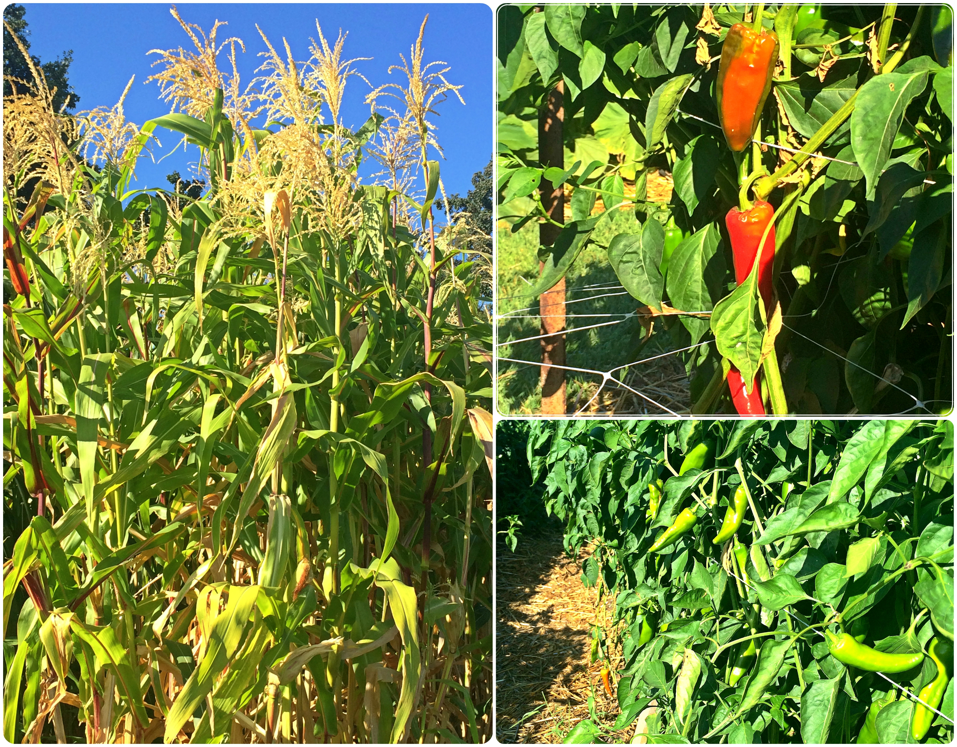 Corn & Peppers